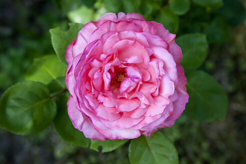 Pink rose in garden, elevated view - NDF000415