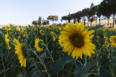 Italy, Tuscany, sunflower field - PAF000344
