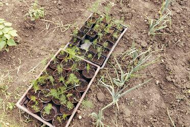Seedlings at flowerpots standing in the garden - MFF000874