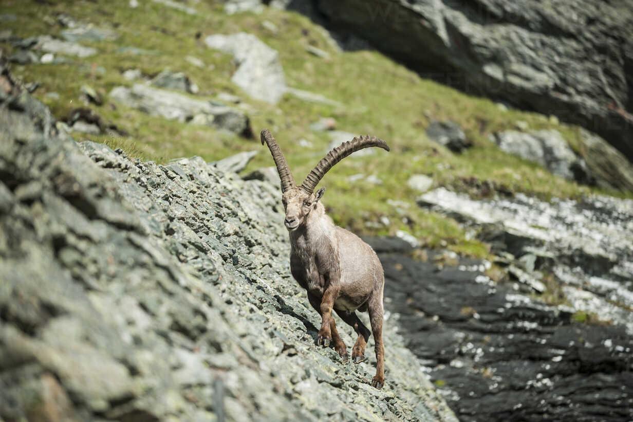 Austria, Grossglockner, Alpine Ibex, Capra ibex - PAF000391 - Andreas Pacek/Westend61