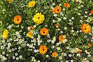 Germany, Rhineland-Palatinate, Pot Marigold (Calendula officinalis) and Chamomile (Matricaria chamomilla) - CSF020860
