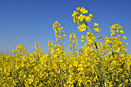 Germany, Bavaria, rape field (Brassica napus) in front of blue sky - RUEF001187