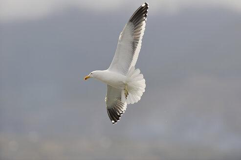 Argentina, Tierra Del Fuego, Ushuaia, Southern black-backed gull (Larus dominicanus) flying - RUEF001160