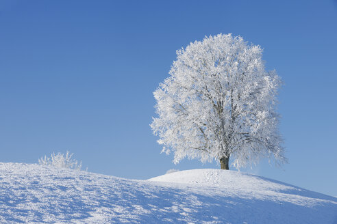 Switzerland, frost-covered lime tree on a hill in front of blue sky - RUEF001163