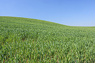Spain, Andalusia, Malaga Province, Ronda, view to green wheat field in front of blue sky - RUEF001168