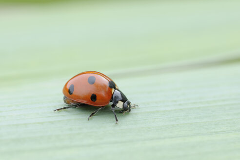 Germany, seven spot ladybird  (Coccinella septempunctata) on a leaf - RUEF001200