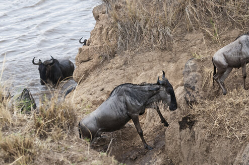 Africa, Kenya, Maasai Mara National Park, A herd of Blue or Common Wildebeest (Connochaetes taurinus), during migration, wildebeests crossing the Mara River - CB000279