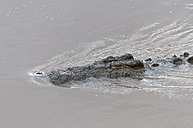 Africa, Kenya, Maasai Mara National Reserve, Nile Crocodile or Common Crocodile (Crocodylus niloticus) in Mara River - CB000277