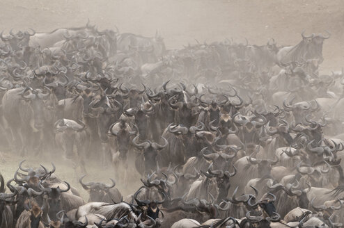 Africa, Kenya, Maasai Mara National Park, Blue or Common Wildebeest (Connochaetes taurinus), wildebeest migration, running on the shore of the Mara River with cloud of dust - CB000265