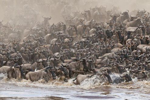 Africa, Kenya, Maasai Mara National Park, A herd of Blue or Common Wildebeest (Connochaetes taurinus) during migration, wildebeests crossing the Mara River with cloud of dust - CB000262