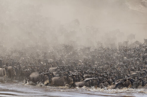 Africa, Kenya, Maasai Mara National Park, A herd of Blue or Common Wildebeest (Connochaetes taurinus) during migration, wildebeest crossing the Mara River - CB000260