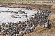 Africa, Kenya, Maasai Mara National Park, A herd of Blue or Common Wildebeest (Connochaetes taurinus), during migration, wildebeest crossing the Mara River - CB000258