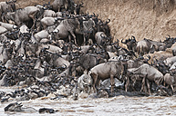 Africa, Kenya, Maasai Mara National Park, herd of blue wildebeests (Connochaetes taurinus) and zebras try to get out of the Mara river - CB000252