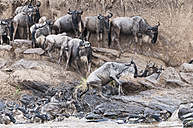 herd of blue wildebeests (Connochaetes taurinus) try to get out of the Mara river - CB000251