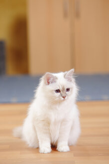 Sacred cat of Birma, lilac-tabby-point, sitting on wooden floor - HTF000342