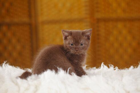 Brown British Shorthair Cat, kitten, sitting on flocati - HTF000344