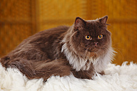 British Longhair Cat lying on flocati - HTF000346