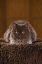 Brown British Longhair Cat lying on faux fur - HTF000333