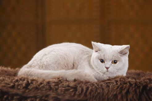 British Shorthair Cat lying on faux fur - HTF000332
