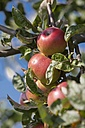 Germany, Hesse, Ripe red apples on tree, close-up - AMF001858