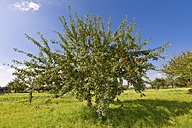 Germany, Hesse, Apple trees in orchard - AMF001859