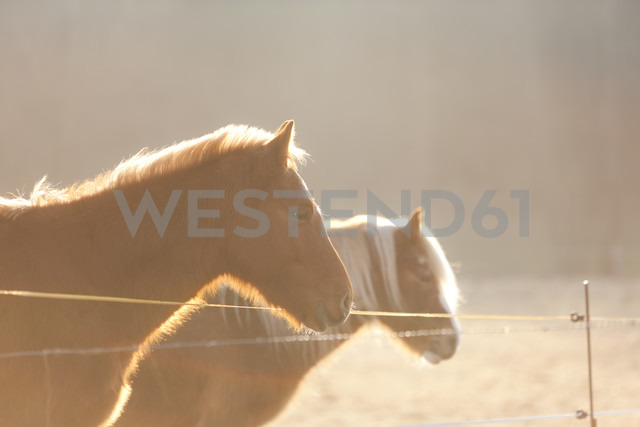 Germany, Hesse, Horses on pasture in morning light - AMF001866