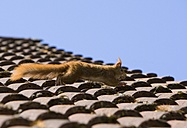 Germany, Hesse, Squirrel running over roof top - AMF001871