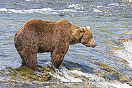 USA, Alaska, Katmai National Park, Brown bear (Ursus arctos) at Brooks Falls, foraging - FO005966