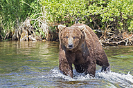 USA, Alaska, Katmai National Park, Brown bear (Ursus arctos) at Brooks Falls, foraging - FO005967