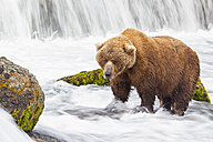 USA, Alaska, Katmai National Park, Brown bear (Ursus arctos) at Brooks Falls, foraging - FOF005913