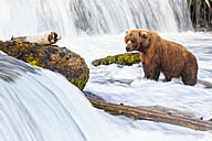USA, Alaska, Katmai National Park, Brown bear (Ursus arctos) at Brooks Falls, foraging - FOF005914