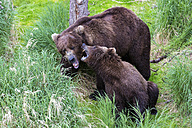 USA, Alaska, Katmai National Park, Brown bears (Ursus arctos) mating - FOF005960