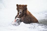 USA, Alaska, Katmai National Park, Brown bear (Ursus arctos) at Brooks Falls with caught salmon - FO005998