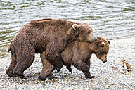 USA, Alaska, Katmai National Park, Brown bears (Ursus arctos) mating - FOF006016