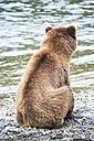 USA, Alaska, Katmai National Park, Brown bear (Ursus arctos) at Brooks Falls, sitting - FOF006018