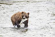 USA, Alaska, Katmai National Park, Brown bear (Ursus arctos) at Brooks Falls with caught salmon - FO006001