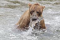 USA, Alaska, Katmai National Park, Brown bear (Ursus arctos) at Brooks Falls with caught salmon - FO006027