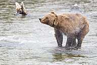 USA, Alaska, Katmai National Park, Brown bear (Ursus arctos) at Brooks Falls and shaking body - FOF006003