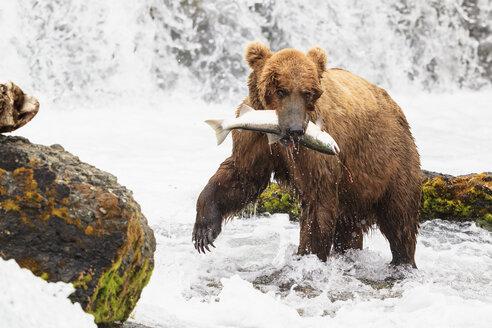 USA, Alaska, Katmai National Park, Brown bear (Ursus arctos) at Brooks Falls with caught salmon - FOF006037