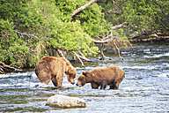 USA, Alaska, Katmai National Park, Brown bears (Ursus arctos) at Brooks Falls, fighting during foraging - FOF005977