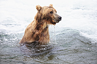 USA, Alaska, Katmai National Park, Brown bear (Ursus arctos) at Brooks Falls, foraging - FOF005978