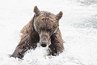 USA, Alaska, Katmai National Park, Brown bear (Ursus arctos) at Brooks Falls, foraging - FOF006004