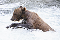 USA, Alaska, Katmai National Park, Brown bear (Ursus arctos) at Brooks Falls, foraging - FOF006031