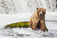 USA, Alaska, Katmai National Park, Brown bear (Ursus arctos) at Brooks Falls, foraging - FOF006041