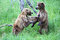 USA, Alaska, Katmai National Park, Playing Brown bears (Ursus arctos), young animals - FOF006034