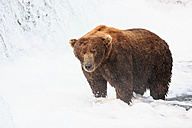 USA, Alaska, Katmai National Park, Brown bear (Ursus arctos) at Brooks Falls, foraging - FOF006010