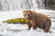 USA, Alaska, Katmai National Park, Brown bear (Ursus arctos) at Brooks Falls, foraging - FO006035