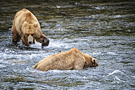 USA, Alaska, Katmai National Park, Brown bears (Ursus arctos) at Brooks Falls, foraging - FOF006024