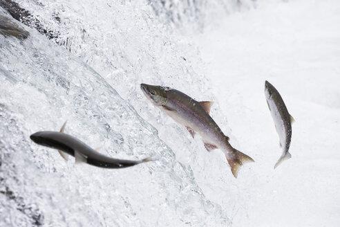 USA, Alaska, Katmai Nationalpark, King Salmon, Brooks Falls, Salmon run - FOF005909