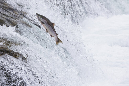USA, Alaska, Katmai Nationalpark, King Salmon, Brooks Falls, Salmon run - FOF005906